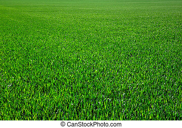 green grass - Background of a green grass