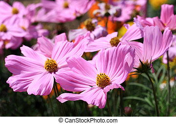 Field of cosmos flowers