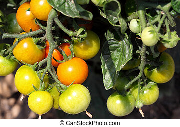 Growing tomatoes - The tomato, a fruit that is often seen as...