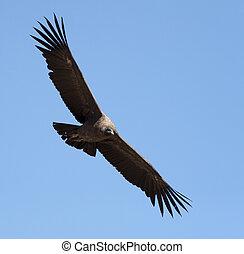 Condor with spread wings - flight of condor in Colca canyon,...