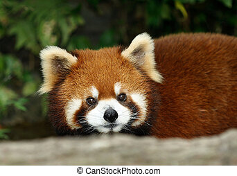 red panda - a red panda, originnaly from China, taken at the...