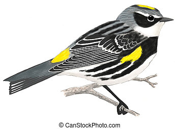 Yellow-rumped Warbler (Myrtle) - Dendroica coronata