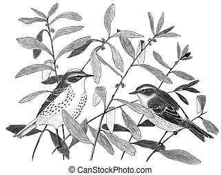 Yellow-rumped Warbler (Myrtle) - Dendroica coronata (winter)