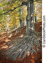 The roots of the tree - beech