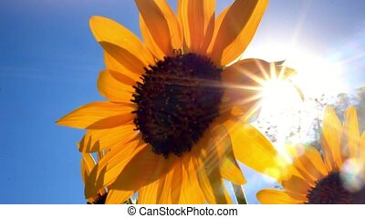Sunflower against blue sky and sun shines through the...
