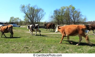 cows on the pasture