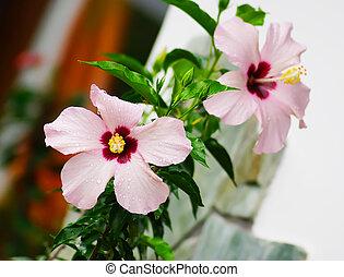 close up Hibiscus Flower