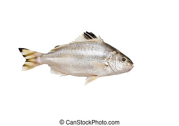 Grunter fish isolated on white background. - Grunter fish...