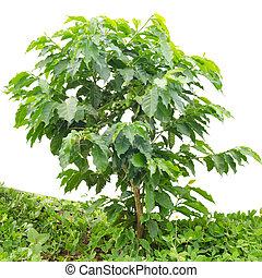 café, jovem, isolado, plantação,  arabica, fundo, branca