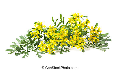 Ruta graveolens - Rue flowers and leaves isolated on white