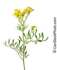 Ruta graveolens - Rue plant with flowers and leaves isolated...