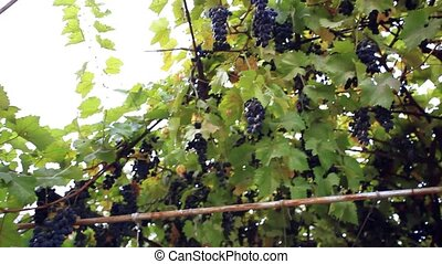 Several bunches of ripe grapes on the vine outdoor