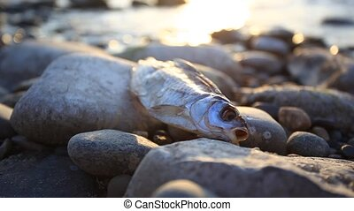 Dead fish at the beach after some environmental disaster,...