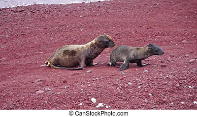 Sea Lions and Red Beach - Baby sea lions on a red beach in...