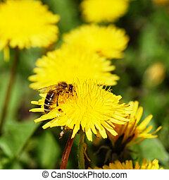 One bee on dandelion - One bee on yellow blooming dandelion...