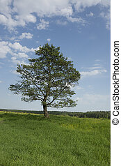 Alone tree stands in a field with green grass, blue sky and...