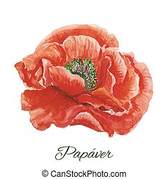 Poppy. watercolor painting on white background