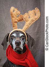 A reindeer christmas pointer - A german shorthaired pointer...