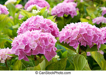 large pink hydrangea flowers that bloom in the sun