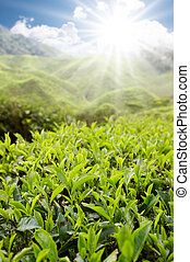 tea farm on sunny day - tea farm in Cameron Highlands on...