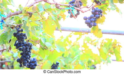 bunches of red wine grapes close-up