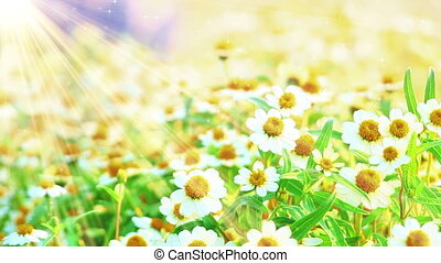 camomile flowers and sunlight seamless loop