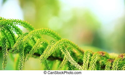 branch of conifer tree close-up