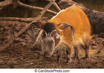 Red river hog, bush pig, Singapore Zoo