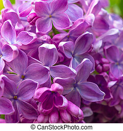Beautiful spring lilac flowers ,toned image