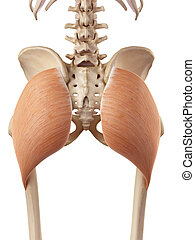 The gluteus maximus - medical accurate illustration of the...