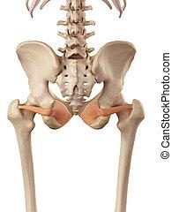 The obturator internus - medical accurate illustration of...