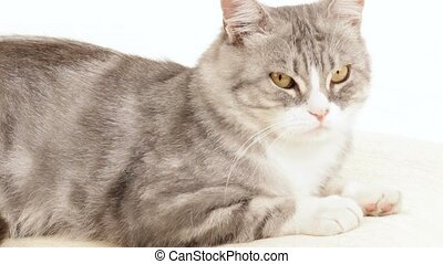 Cat Lying On A White Background - Beautiful gray cat is like...