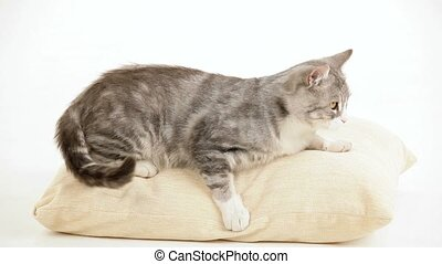 King In His Place - Beautiful gray cat lying on a bed like a...
