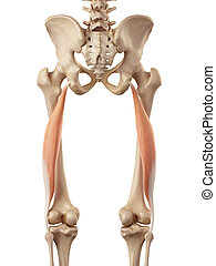 The biceps femoris longus - medical accurate illustration of...