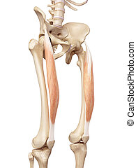 The rectus femoris - medical accurate illustration of the...