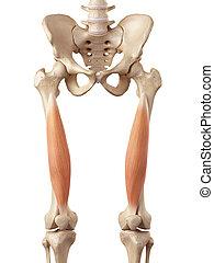 The vastus intermedius - medical accurate illustration of...