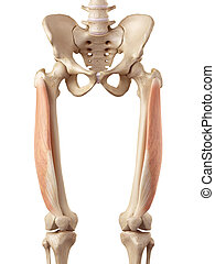 The vastus lateralis - medical accurate illustration of the...
