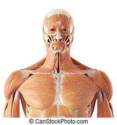 The upper muscles