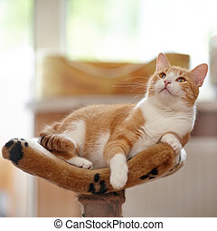 Red domestic cat. - Red with white cat lies on a sofa.