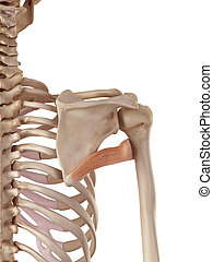 The teres minor - medical accurate illustration of the teres...