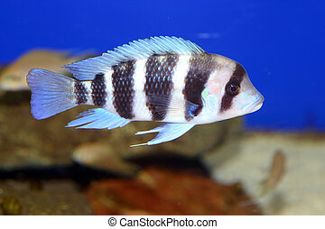 humphead cichlid cyphotilapia frontosa