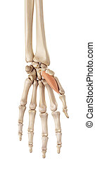 The abductor pollicis brevis - medical accurate illustration...