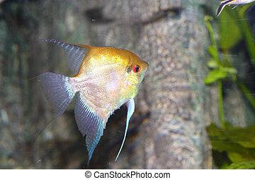 Freshwater angelfish Pterophyllum scalare