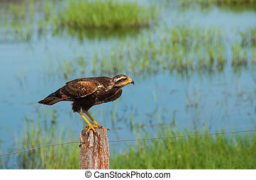 Savanna Hawk bird in the South Pantanal of Brazil