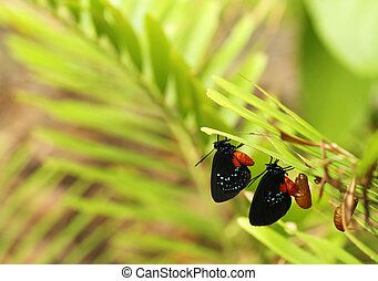 two new Atala butterflies