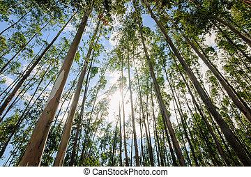 eucalipto, árbol, contra, cielo,