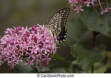 Swallowtail butterfly sucking nectar from flower - A...