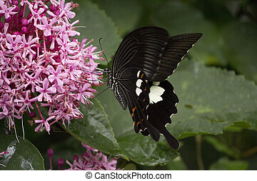 Black swallowtail butterfly sucking nectar from flowers...