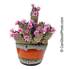 An Easter lily cactus with flowers