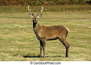 Red Deer stands in open ground facing camera